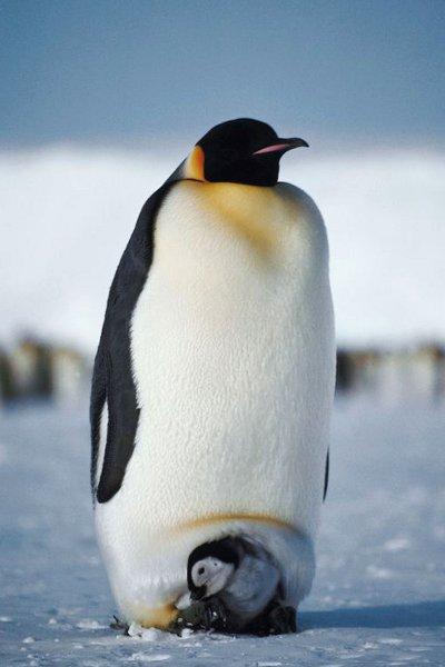 De vez en cuando, el bloguero ventila ss obsesiones pensando en ese fenómeno de la naturaleza que es el pingüino emperador...