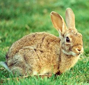 No tienes claro si los múltiples conejos de la Casa de Campo son buenos o malos mara el medio ambiente...