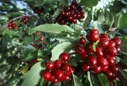 Es tan agradable pasear a la sombra de los cerezos mientras coges sus frutos y te los llevas a la boca que casi parece pecado...